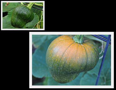 Pumpkin Turning Orange