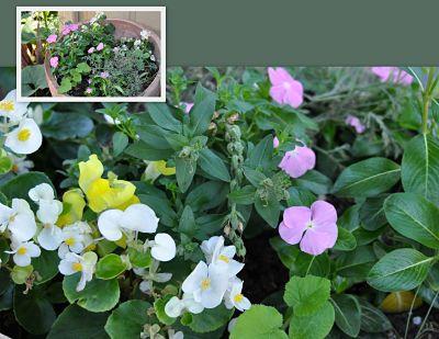 Flowering annuals