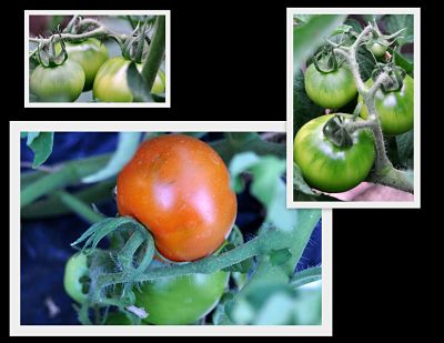 Tomatoes from green to red