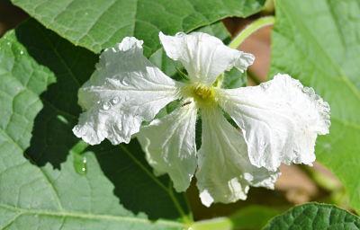 White Birdhouse Gourd Flower