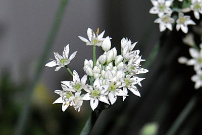 Allium Stellatum or Prairie Onion