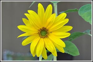 Sunflower with small center