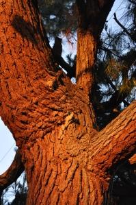 Pine Tree Reflecting Sun
