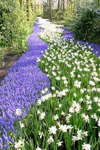River of Hyacinth Flower