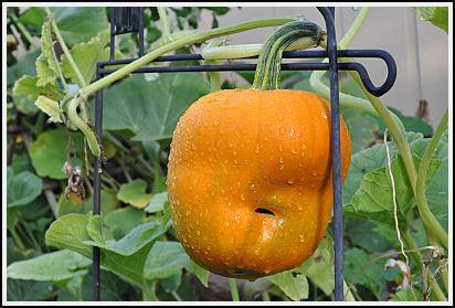 Acorn shaped pumpkin turns orange