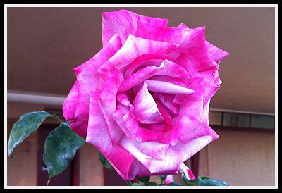 Rose at John Muir School