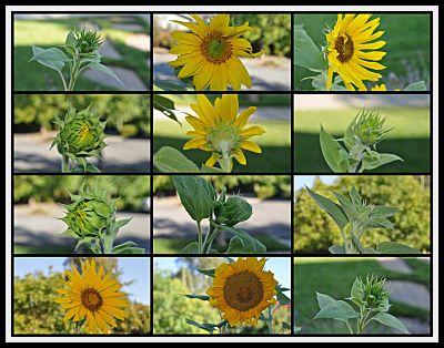 Sunflowers: The Sunny Dozen