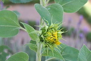 Budding Sunflower