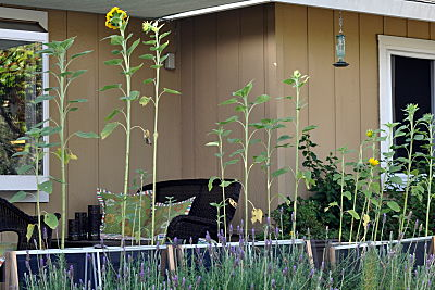 Sunflowers in a row