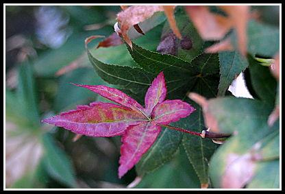 Acer red leaf
