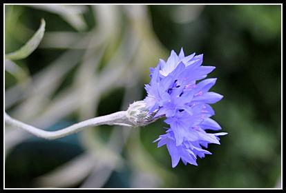 Bachelor's Button flower