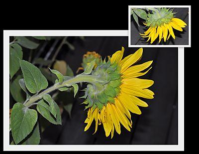 End of Season Sunflower
