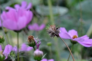 cosmos going to seed