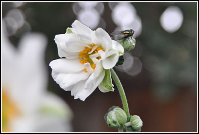 Anemone house fly