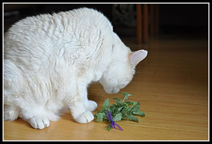 Cat inspecting the catnip
