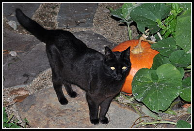 Black cat with pumpkin