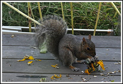 squirrel with sunflower