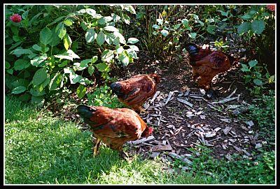 wild hens Mendocino