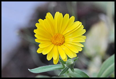 yellow daisy like flower