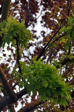 SummerWinds Acer