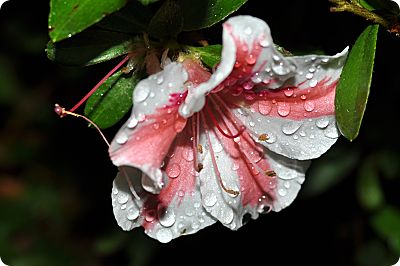 Azalea in the rain