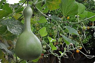 birdhouse gourd perspective with orange tree