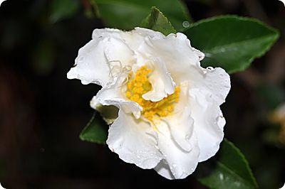 rain drop on camellia