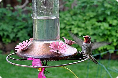 Hummingbird August 4th