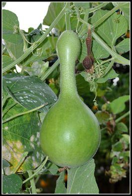 larger birdhouse gourd