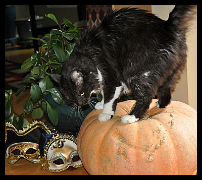 Cat on Pumpkin