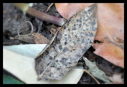 mottled leaf