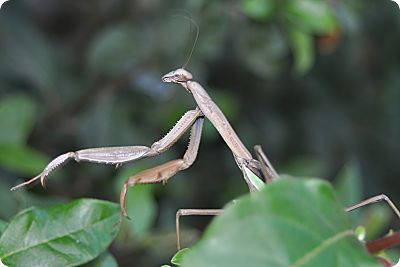 praying mantis 3
