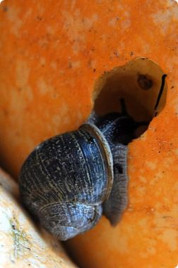 snail eating pumpkin