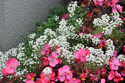 SummerWinds Alyssum and Begonia