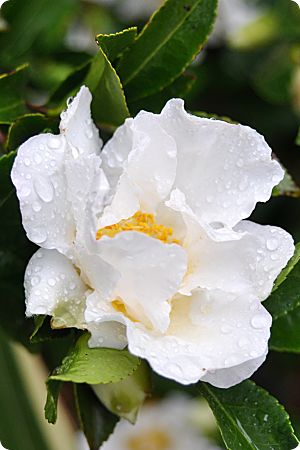white Camellia in the rain