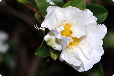White spider on camellia