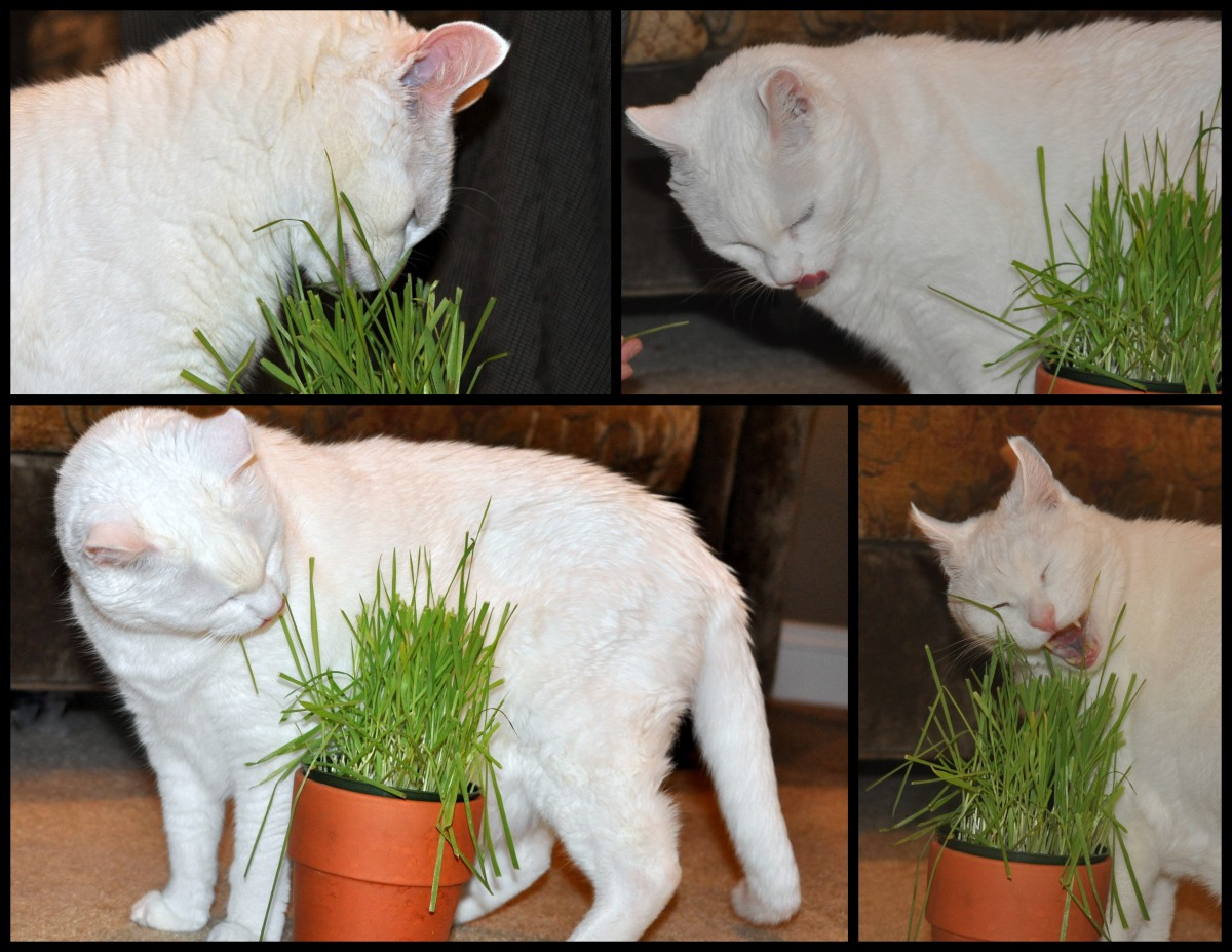 KT Eating Kitty Greens