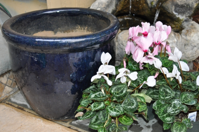 Ready to pot cyclamen