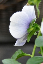 Pansy in profile