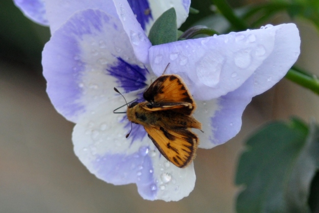 Orange butterfly on pansy