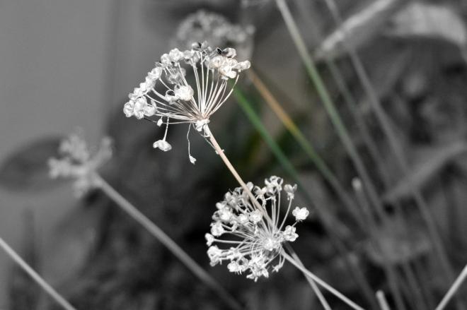 Black and White Allium