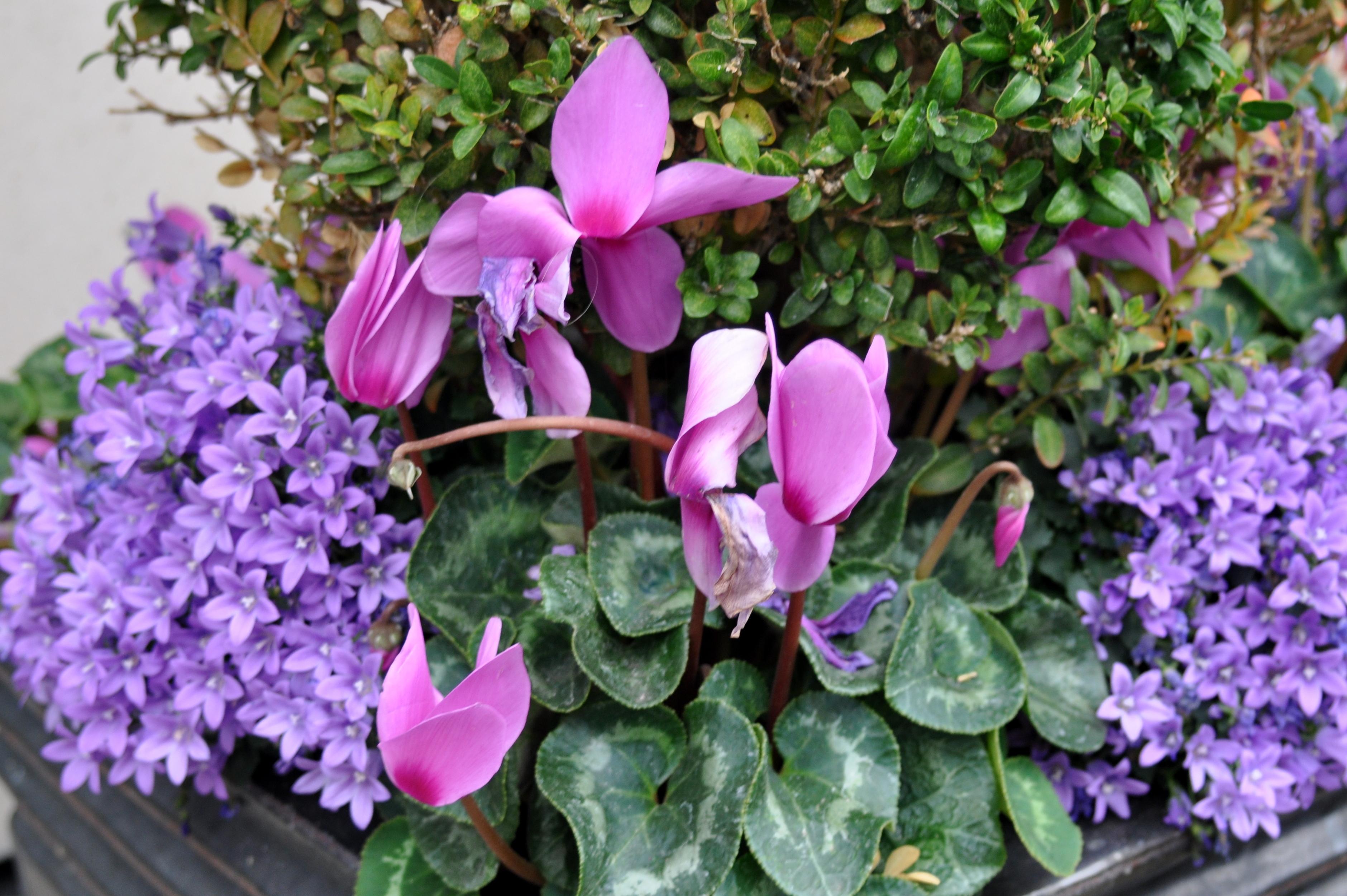Planters full of Purple
