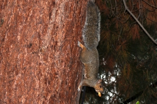 Squirrel in the pine tree