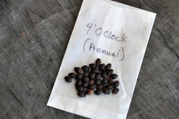 4 O'clock seeds
