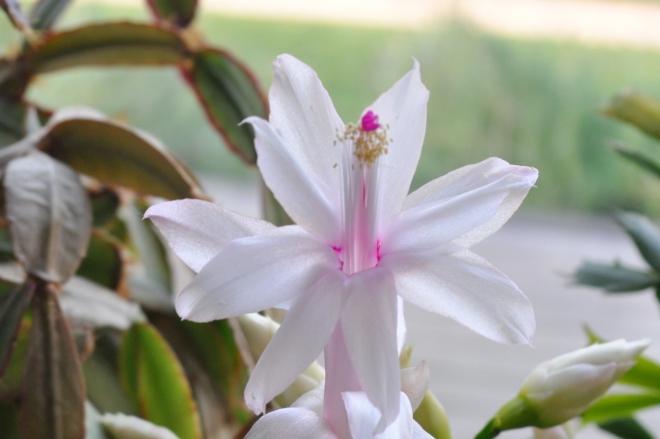 Zygocactus in Bloom