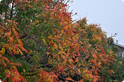 Chinese Pistache Fall Colors