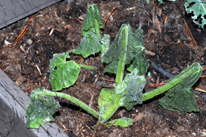Frost damaged pumpkin plant