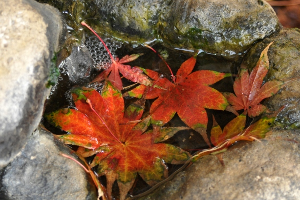 Maple leaves in the fountain