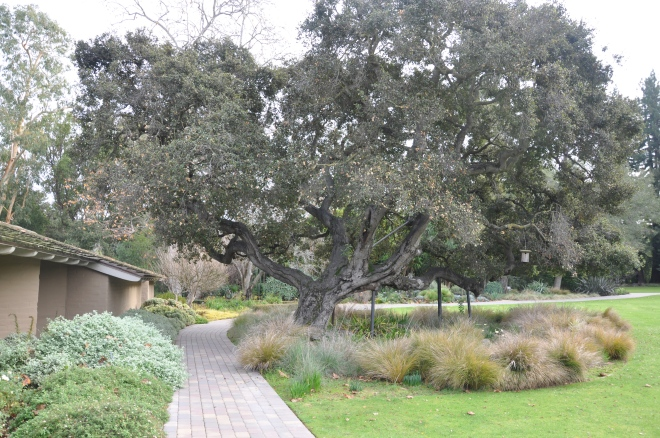 The Old Man: Coast Live Oak