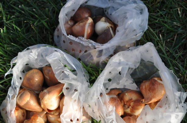 Ready to Plant Tulip Bulbs